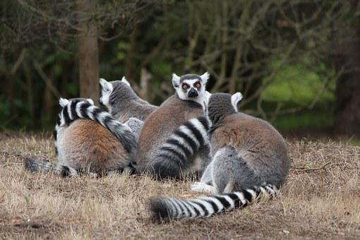 Lemur, Ring-tailed, Animal, Wild, Mammal, Monkey