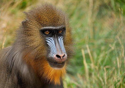 Mandrill, Monkey, Zoo, Animal, Mammal, Primate