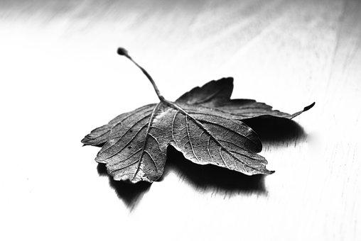 Maple, Leaf, Nature, Dry, Fall, Blackandwhite