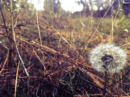 Dandelion, Field, Widlflowers, Nature, Spring, Meadow