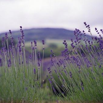 Lavender, Nature, Summer, Flower, Natural, Fragrance