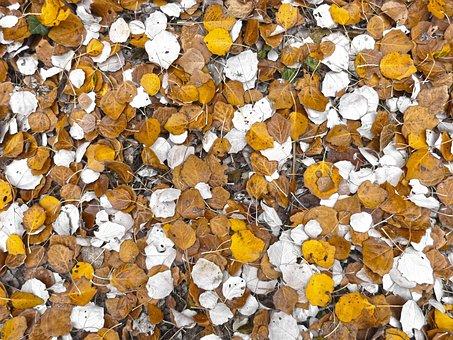 Leaf, Poplar, Carpet Leaves, Autumn, Autumn Leaves