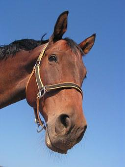 Horse, Portrait, Head, Halter, Nose