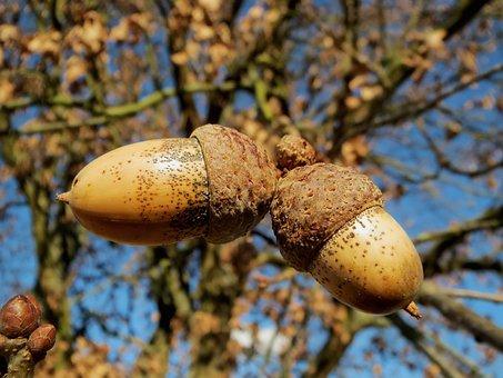 Oak, Quercus Robur, English Oak Tree, Nuts, Macro