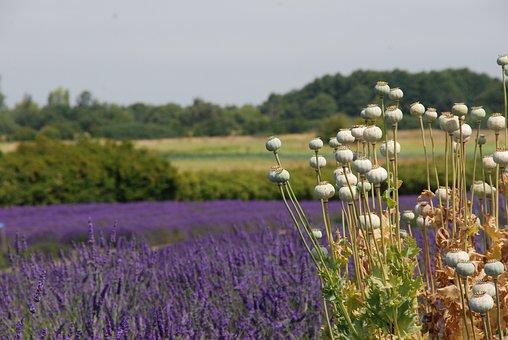 America, Washington State, Landscape, Nature, Lavender