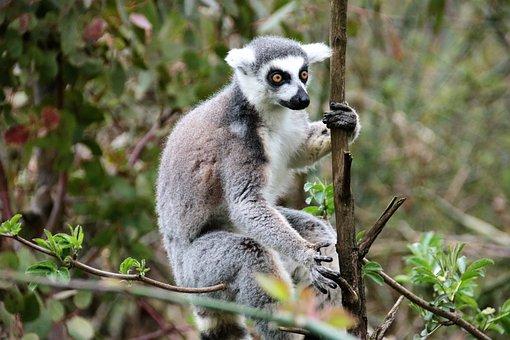 Lemur, Monkey, Wild, Mammal, Nature, Animal, Wildlife