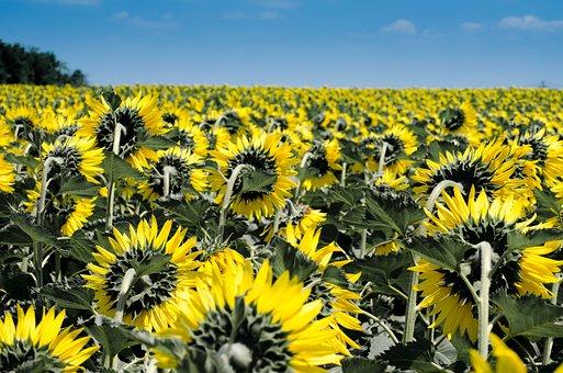 Sunflower, Flowers, Field, Many, Yellow, Summer, Flora