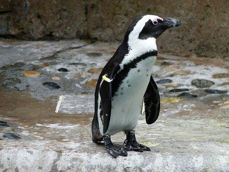 African Penguin, Aves, Spheniscus Demersus, Bird