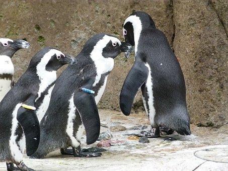 African Penguin, Aves, Group, Spheniscus Demersus, Bird
