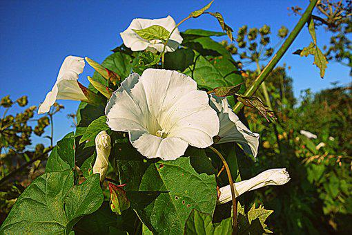 Bindweed, Hedge Bindweed, Trumpet Flower, Bugle Vine