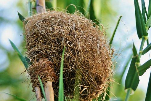 Nest, Bird, Weaver, Dense, Mother, Egg, Bleached