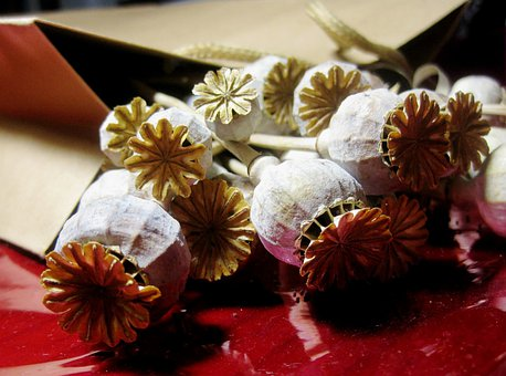 Poppies, Seedpods, Dry, Bleached, Red Cellophane