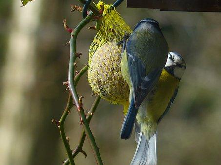 Tit, Blue Tit, Cyanistes Caeruleus, Parus Caeruleus