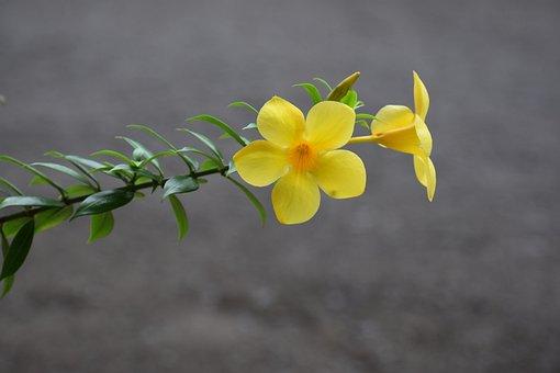 Yellow Bell Flower, Buttercup Flower