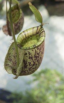 Pitcher, Plant, Carnivorous, Botanical, Insect, Catcher