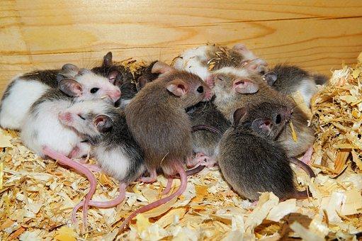 Mastomys, Mice, Cute, Rodents, Society, Close Up, Nest