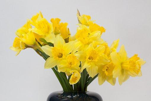 Narcissus Pseudonarcissus, Daffodil, Bouquet
