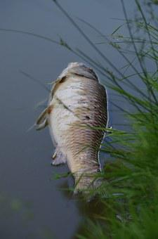 Fish, Carcass, Pond, Polluted, Ecology