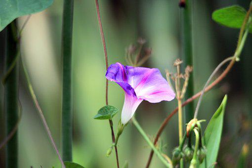 Pink Morning Glory Flower, Flower, Weed, Creeper