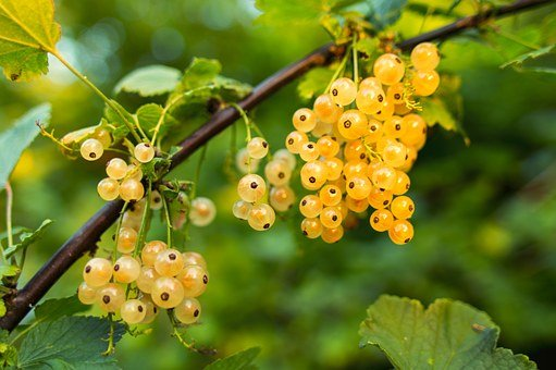 Currant, White, Fruit, Fresh, Berry, Sweet, Food