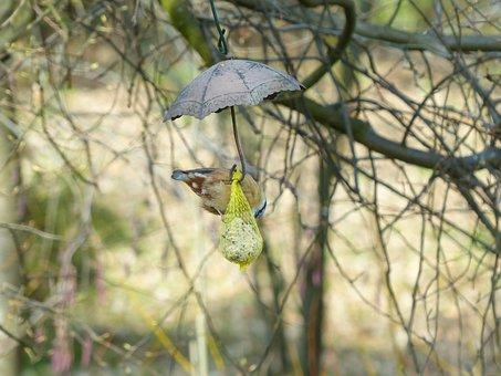 Kleiber, Bird, Sitta Europaea, Species, Branch, Sit