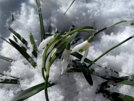 Snowdrops, Flowers, Snow, White, Greens, Spring, March