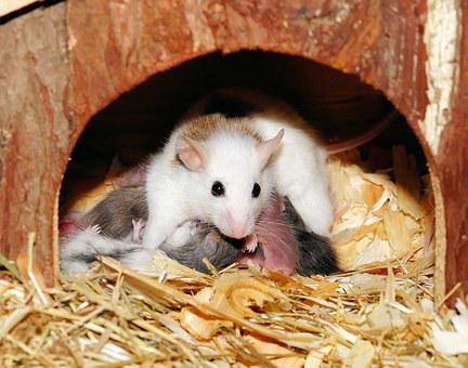 Mastomys, Mice, Mama, Babies, Suckle, Cute, Chaos