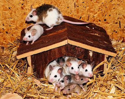 Mouse Family, Mice, Mastomys, Nager, Vacation, Cute
