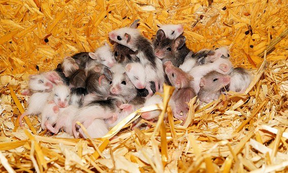 Mice, Mastomys, Nest, Young Animals, Cute, Society
