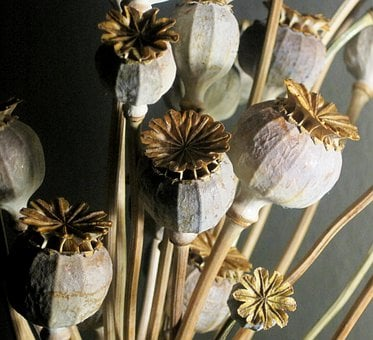 Seed Pods, Poppy, Dried, Bleached, Textured, Natural
