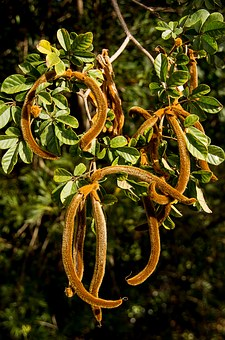 Golden Trumpet Tree, Tabebuia Chrysantha, Seed Pods
