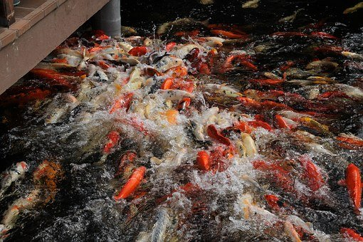 Koi, Fish, Carp, Japanese, Koi Carp, Water Surface