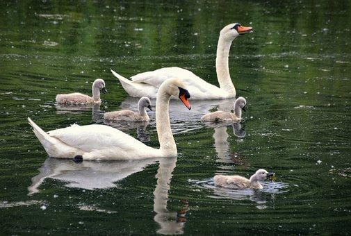 Swans, Swan, Bird, Water, Birds, River, Beak, Afloat