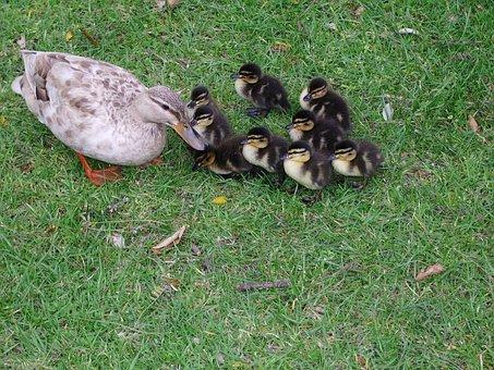 Ducklings, Animals, Flock, Family, Birds, Ducks