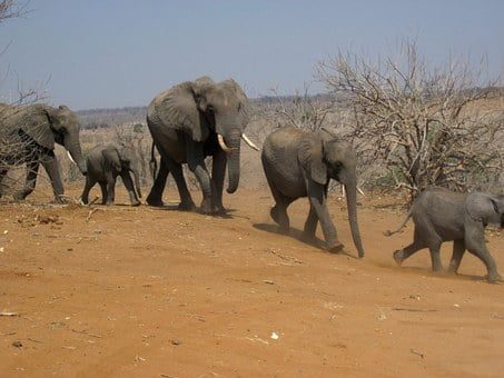 Elephants, Family, Group, Animals, Running, Walking