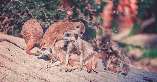 Meerkat, Animals, Zoo, Desert, Africa, Pack, Group