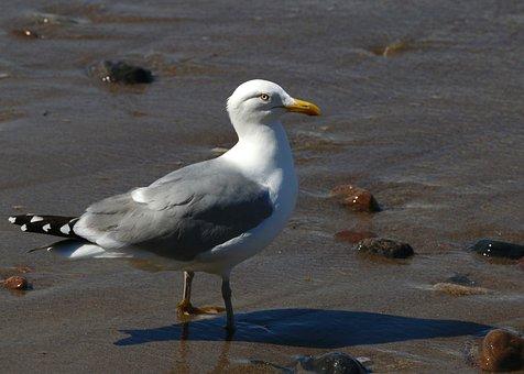 Seagull, Baltic Sea, Bird, Coast, White, Warnemünde