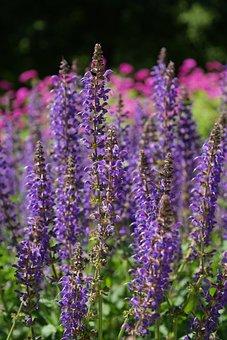 Wild Sage, Blossom, Bloom, Violet, Blue, Flower, Flo