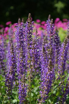 Wild Sage, Blossom, Bloom, Violet, Blue, Flower, Flo