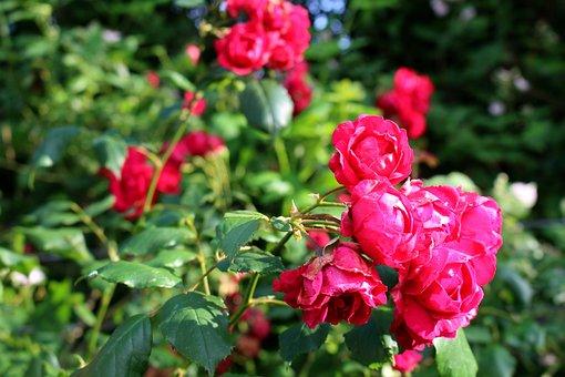 Roses, Pink, Blossom, Bloom, Flowers, Rose Bloom