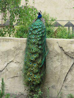 Peacock, Peafowl, Plumage, Bird, Blue, Feather, Tail