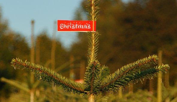 Christmas, Christmas Tree, Buy, Shield, Culture