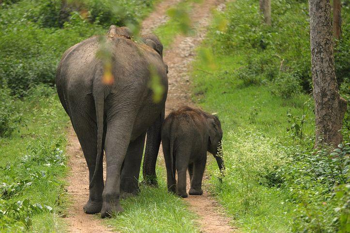 Mother, Elephant, Calf, India, Wildlife, Baby, Family