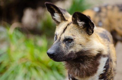 African Wild Dog, Lycaon Pictus, Mammal, Carnivore