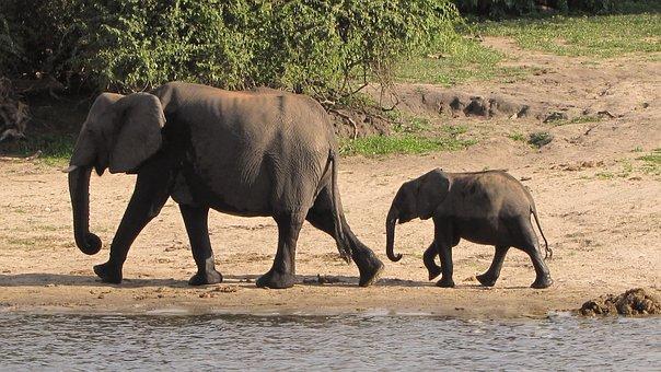 Elephant Family, Botswana, Chobe, Young Elephant