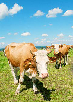 Allgäu, Cow, Pasture, Bavaria, Animal, Cattle