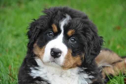Bernese Mountain Dog, Dog, Big Dog, Animal, Green