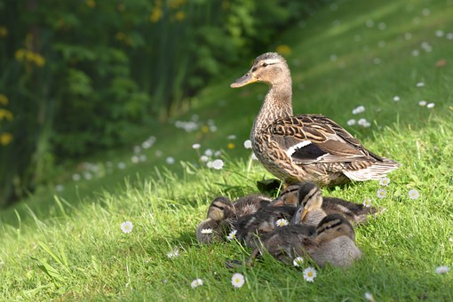 Duck, Animal, Young, Young Animal, Water, Bird