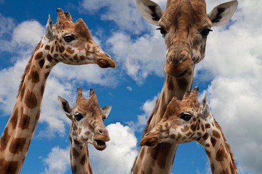 Giraffes, Family, Education, Talk, Children Picture