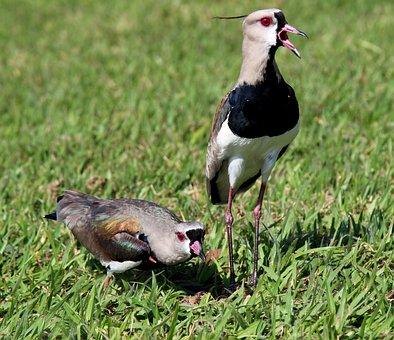 Quero-quero, Family, Looking, Nest, Birds, Brasileira